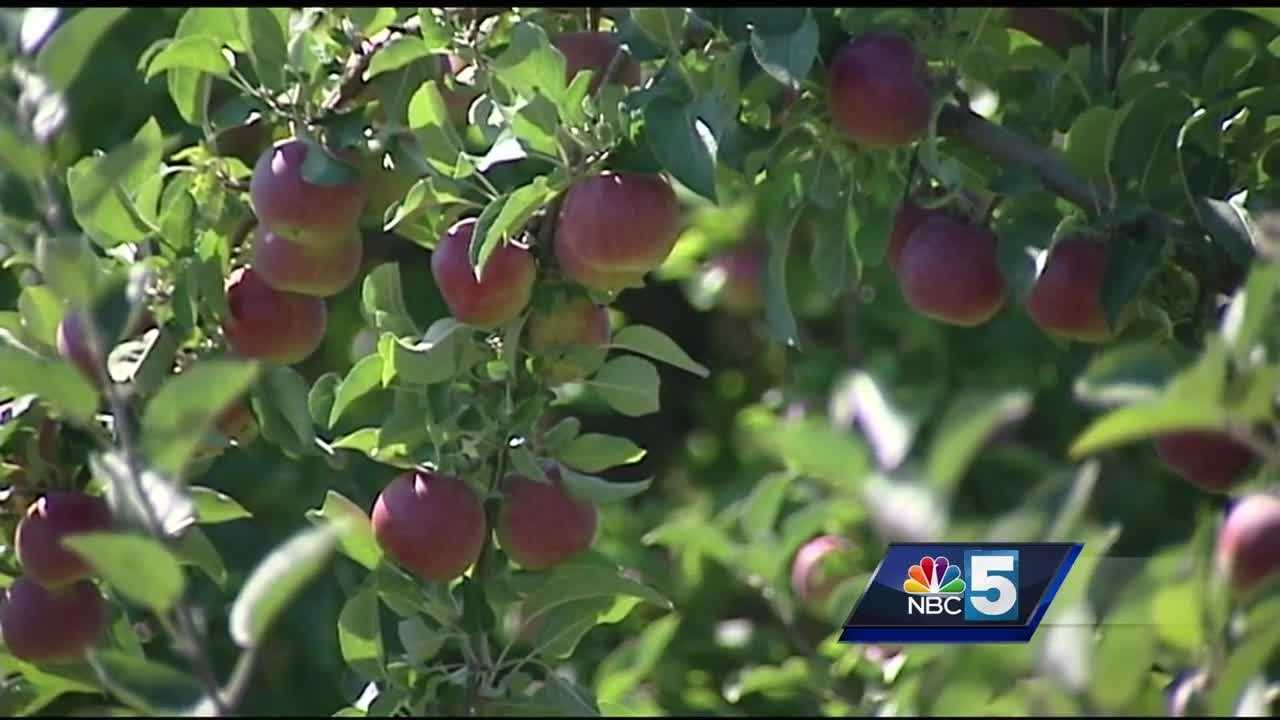 The outlook for Vermont's apple harvest looks OK, despite a lack of rain