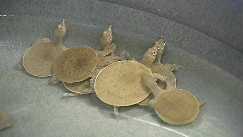 Spiny Softshell Turtles