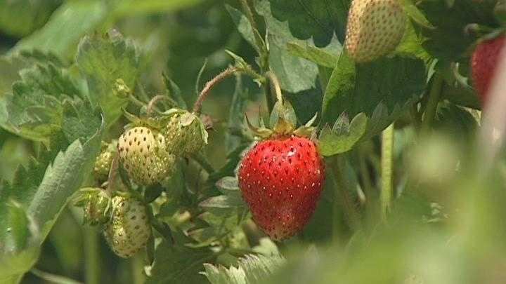 0615 Strawberry - 28249814