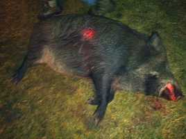 Wild boars are accused of destroying tens of thousands of dollars in property and crops across much of New York.
