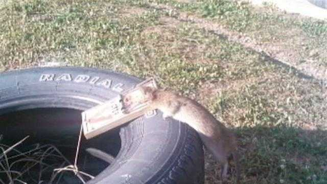 img-rat in Ambridge
