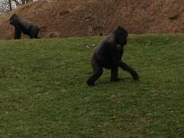 Moka had a baby last year, but, as is sometimes the case with first-time gorilla mothers, the baby died at 4 months old.