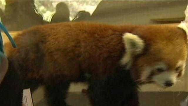 red panda at Pittsburgh Zoo