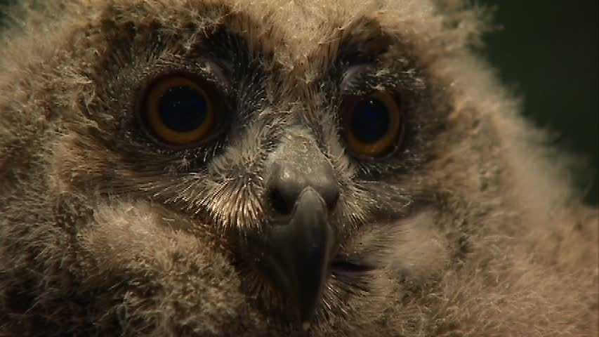 The baby owl will be featured in public viewings beginning April 10.