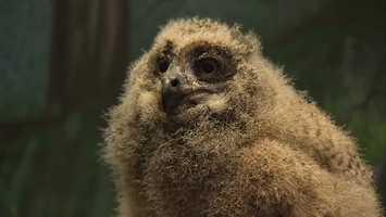 The National Aviary now has four Eurasian eagle-owls.
