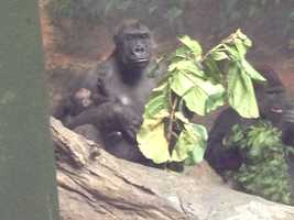 Here's Moka with her baby. To the right is Mrithi, the father. Western lowland gorillas are the most numerous subspecies of gorillas, but still highly endangered.