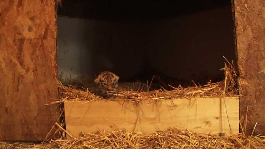 Zoo officials spotted the tiny cub at 8:32 p.m.