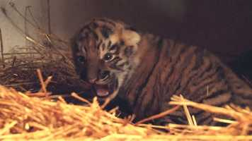 Toma, an Amur tiger, gave birth to the cub on Easter Sunday at the Pittsburgh Zoo & PPG Aquarium.