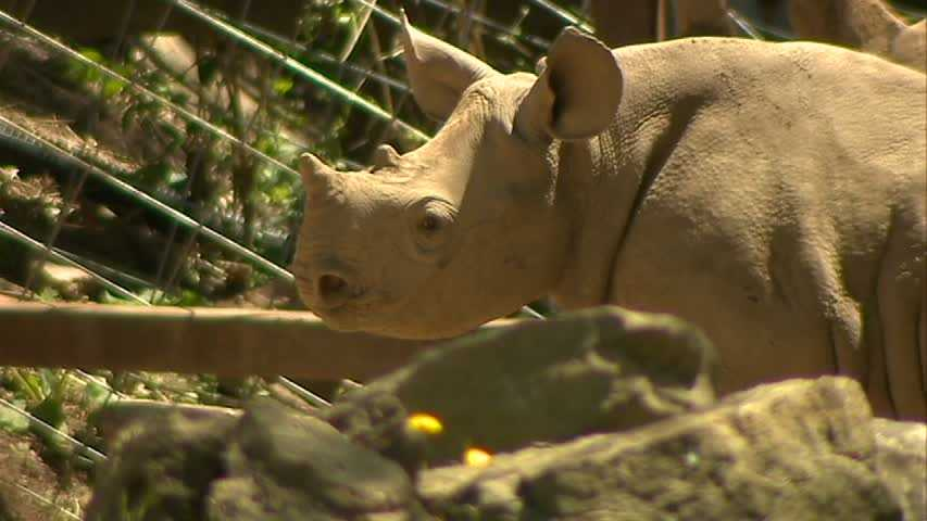 In September, Janine became the first black rhinoceros born at the zoo in more than 45 years.