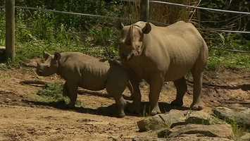 """We were looking for a name that would suit the baby rhino's strong personality and spirit,"" said Barbara Baker, zoo president and CEO. ""But we also wanted a name that had special meaning. Janine means spirit and magical creature."