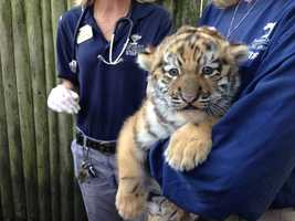 The 6-week-old Amur tiger cub at the Pittsburgh Zoo & PPG Aquarium was out in the public on Thursday.