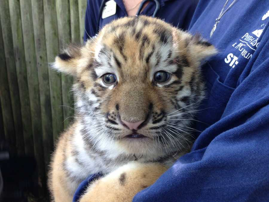 The zoo staff gave the cub a checkup and said he is perfectly healthy.