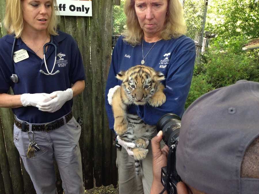 Kathy Suthard, the zoo's lead mammal keeper, holds the tiger cub.