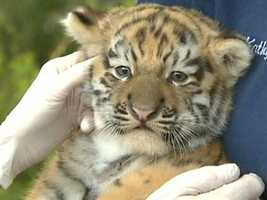 Taiga is the father of the Amur tiger cub at the Pittsburgh Zoo.