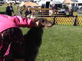 Owned by Jeannie Frye from Cleveland who owned Margot--the Deerhound that one best of group at Westminster several years back. She is also owned by breeder Ceil Dove whose Deerhound Hickory won Westminster Best in Show-first Deerhound to ever win.