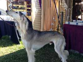 The oldest breed. The Saluki, a sight hound like the deerhound is a breed that is several thousand years old