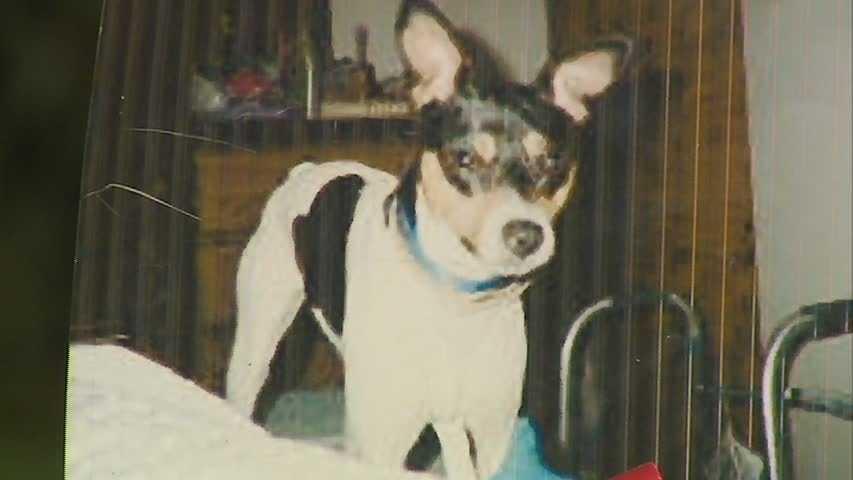 Sheila White's Jack Russell terrier, Ashton