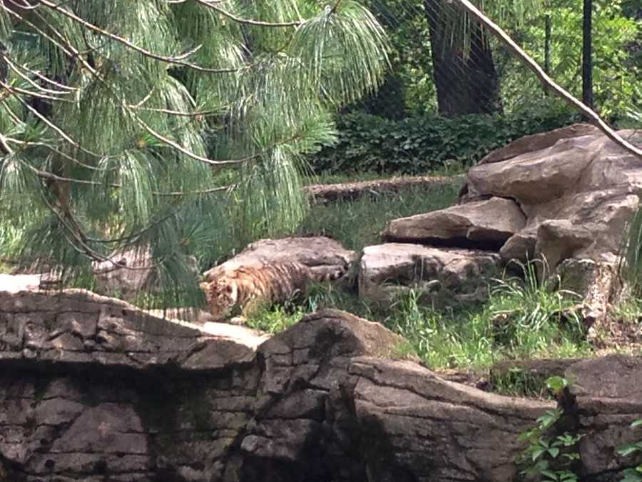 """The baby tiger went exploring on his own, as if to say, """"I don't need mom all the time."""""""