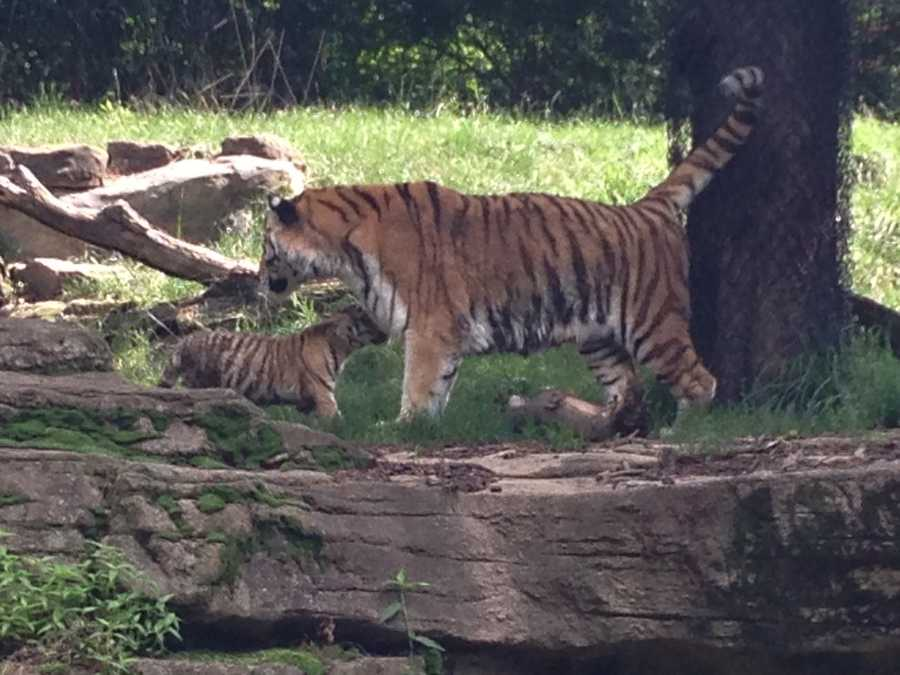 This birth for Toma was only one cub. That may be why the baby is so big -- 35 pounds at three months old -- and already eating a pound of meat a day, along with nursing.