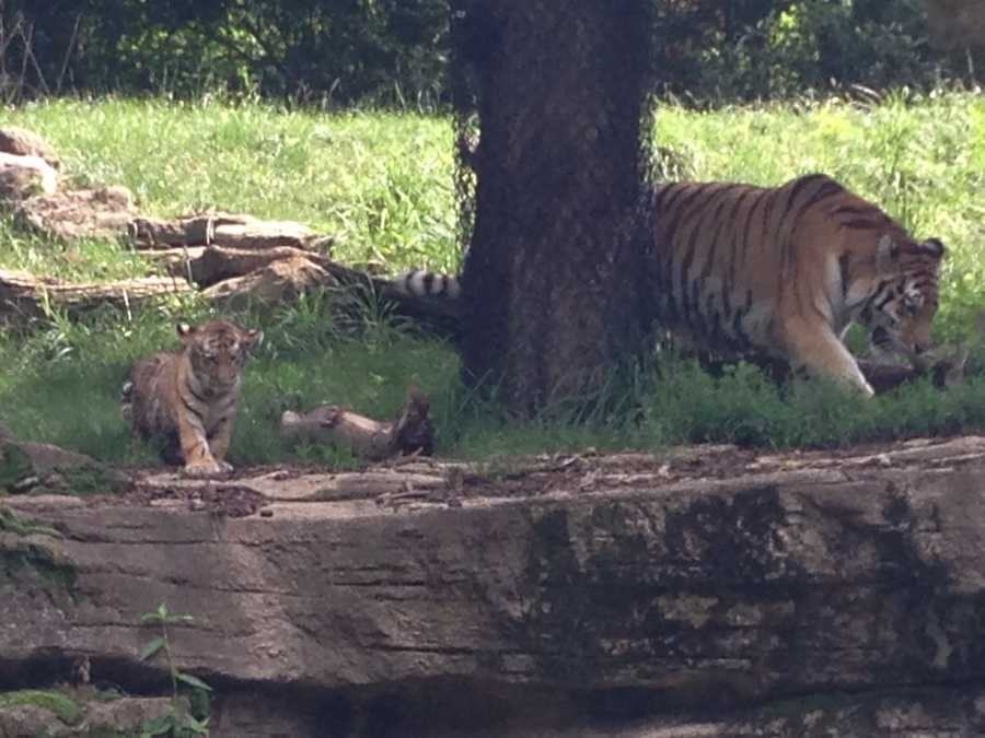 The tiger cub was a little afraid to go outdoors when keepers did a dry run with him this week. He fell in the moat, but started swimming immediately and loved the water. Animal keeper Kathy Suthard says he is one of the bravest cubs she has seen.