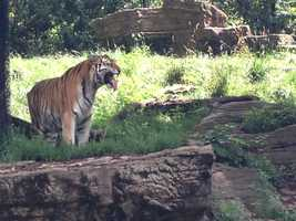 """Toma, the Amur tiger, has been back in the nursery for three months, and her daughters from another litter have been marking her territory. Today she was doing her own marking, with facial expressions to say, """"This is mine, I'm back."""""""