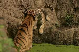 Mama Tiger and cub nuzzle