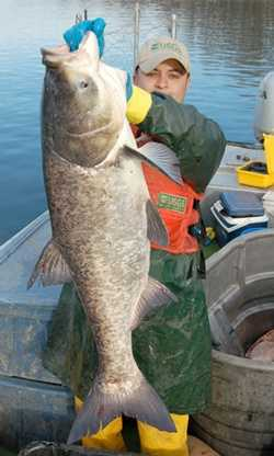 1. Bighead carp, Hypophtalmichtys nobilis: The Bighead carp is one of three types of Asian carp banned in Pennsylvania. It has been found in the Ohio River Basin and Lake Erie.