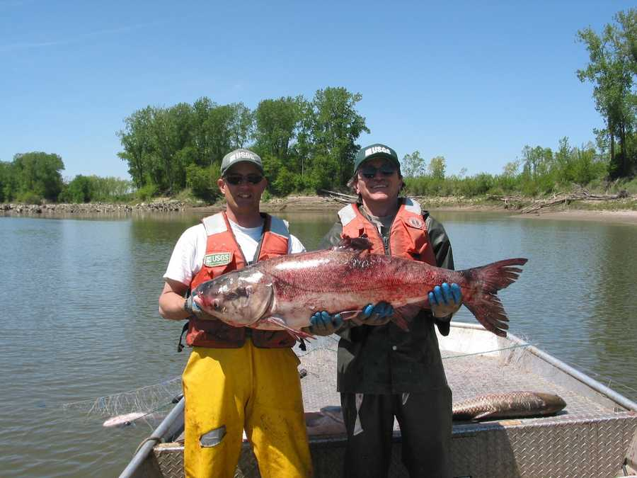 These invasive fish have a devastating effect on waterways. They can grow to more than 5 feet in length and in excess of 100 pounds.