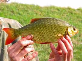 3. European rudd, Scardinius erythropthalmus: This fish is a medium-sized fish with a forked tail. It has been found in the Susquehanna River, Lake Erie and the Ohio River.
