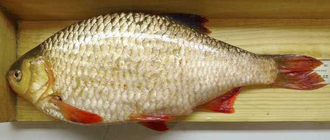 European Rudd competes with native fish for invertebrate food sources. It is also a hardy survivor in polluted waters, where it can outlast native fish.