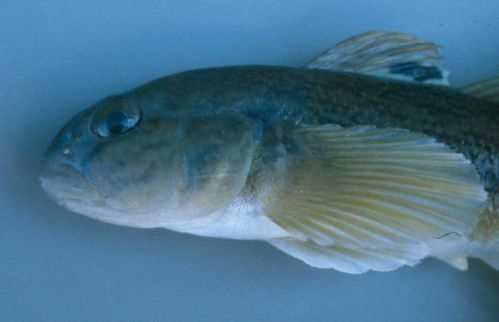 Round gobies can become a dominant fish species. They are very aggressive and compete with native fish for food and space.