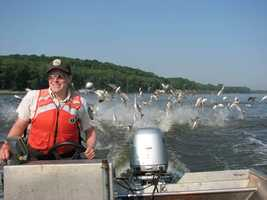 8. Silver carp, Hypophtalmichtys molitrix: You've probably seen video of this invasive fish leaping out of the water at the sound of a boat motor. The fish has been found in the lower Ohio River.