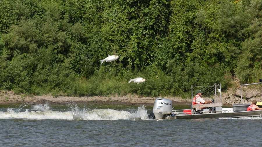 Related to the Bighead and Black carp, the Silver carp can weigh up to 50 pounds. The jumping fish has injured humans travelling at high speeds in boats.