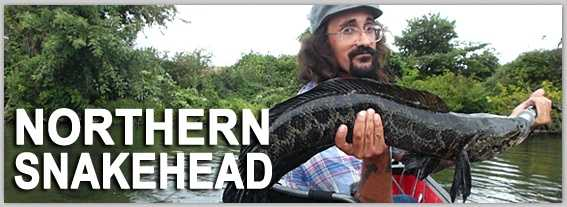 9. Snakehead, ALL SPECIES: The snakehead has probably spawned more headlines (and B-movies) than any other invasive species in Pennsylvania.