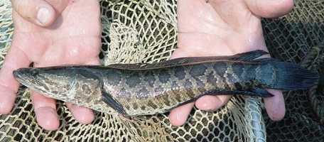 The Snakehead is a tough competitor and can prey on many native fish. The fish can also breathe out of the water and survive extremely low oxygen levels in water.