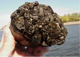 """Zebra mussels are notorious for their biofouling capabilities by colonizing water supply pipes of hydroelectric and nuclear power plants, public water supply plants, and industrial facilities. They colonize pipes constricting flow, therefore reducing the intake in heat exchangers, condensers, fire fighting equipment, and air conditioning and cooling systems,"" according to a USGS fact sheet."