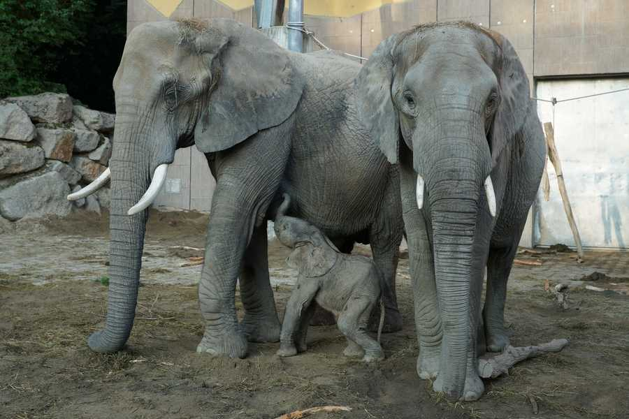 Officials from the Pittsburgh Zoo and PPG Aquarium went to Africa with their German partners from the Leibniz Institute for Zoo and Wildlife Research to collect sperm from elephants in the wild.
