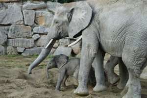 In a program dubbed Project Frozen Dumbo, the sperm was frozen and used to artificially inseminate an elephant. The 28-year-oldmother and her baby are both reported to be healthy after the birth.