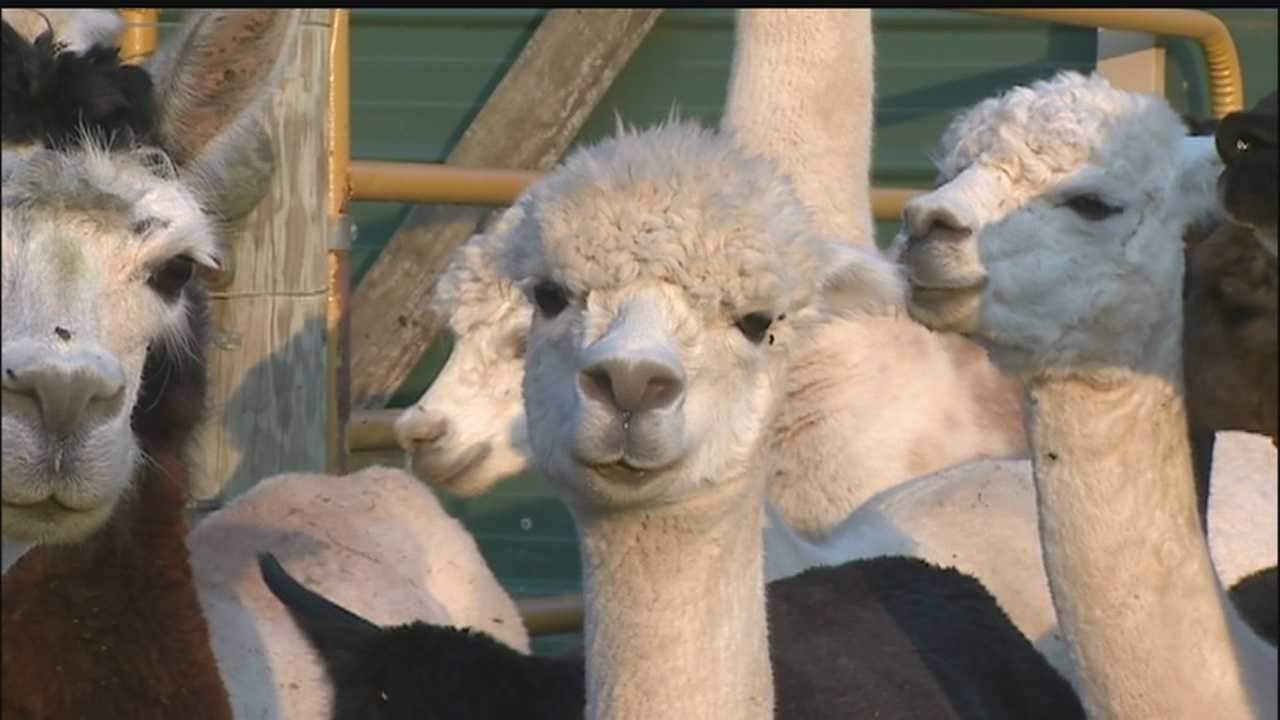 Coyotes targeting, killing alpacas at Westmoreland County farm
