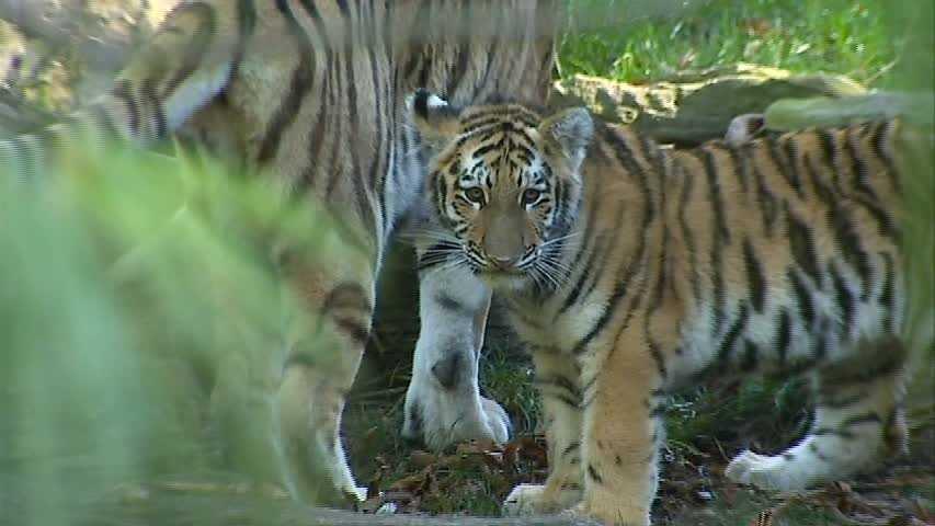 Paval, the Amur tiger cub