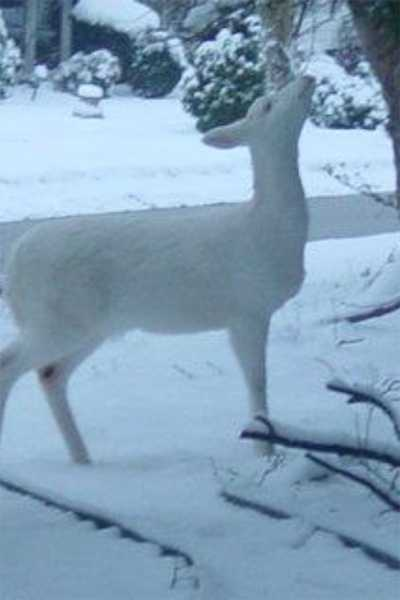 Debbie Havrilla shared these photos of the albino deer in Pleasant Hills with WTAE.