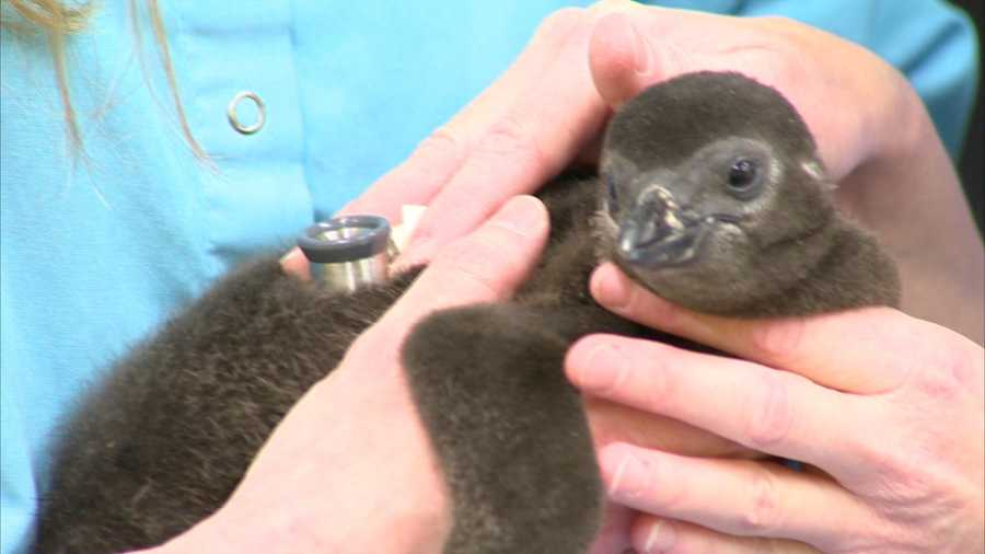 """""""It is a real accomplishment to have these chicks hatch in captivity, and we're happy to have them,"""" said Dr. Pilar Fish, director of veterinary medicine. """"They really do represent their species, and every chick is important when you have an endangered species such as the black-finned penguin."""""""