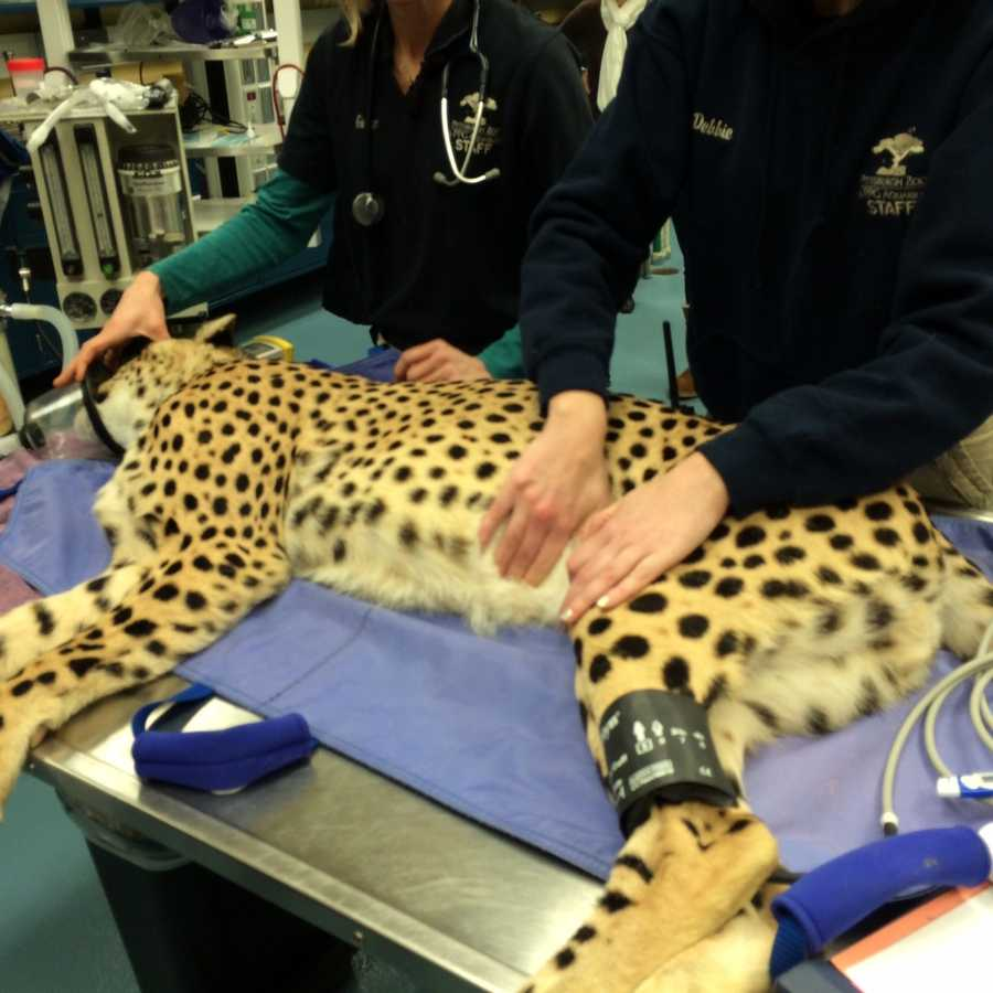 Vets are checking to see that all of the cheetahs' organs are OK. The cheetahs were born on a ranch in South Africa and are here to reinvigorate the captive population.