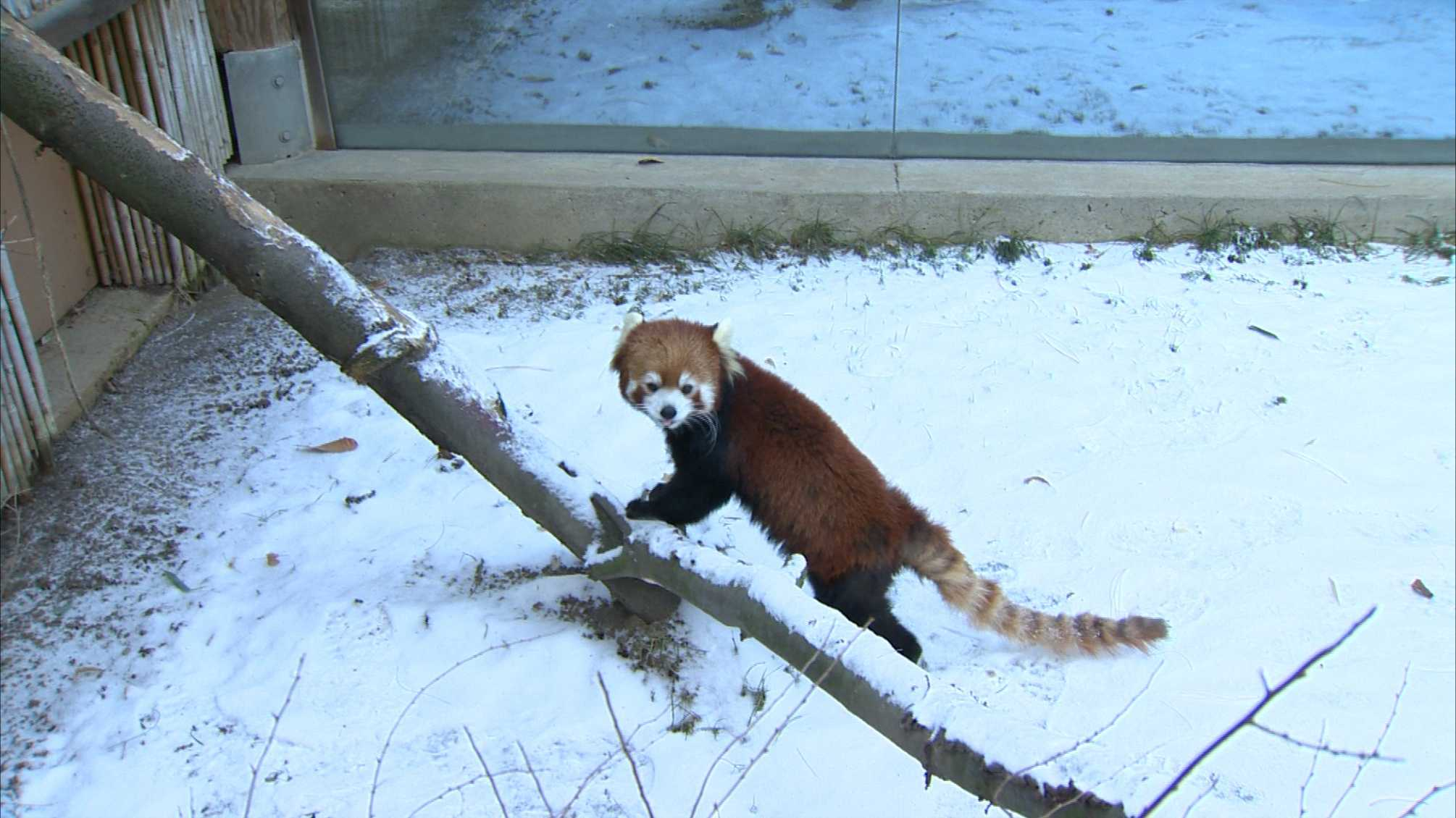 A red panda ventures into the snow at Pittsburgh Zoo & PPG Aquarium on Tuesday