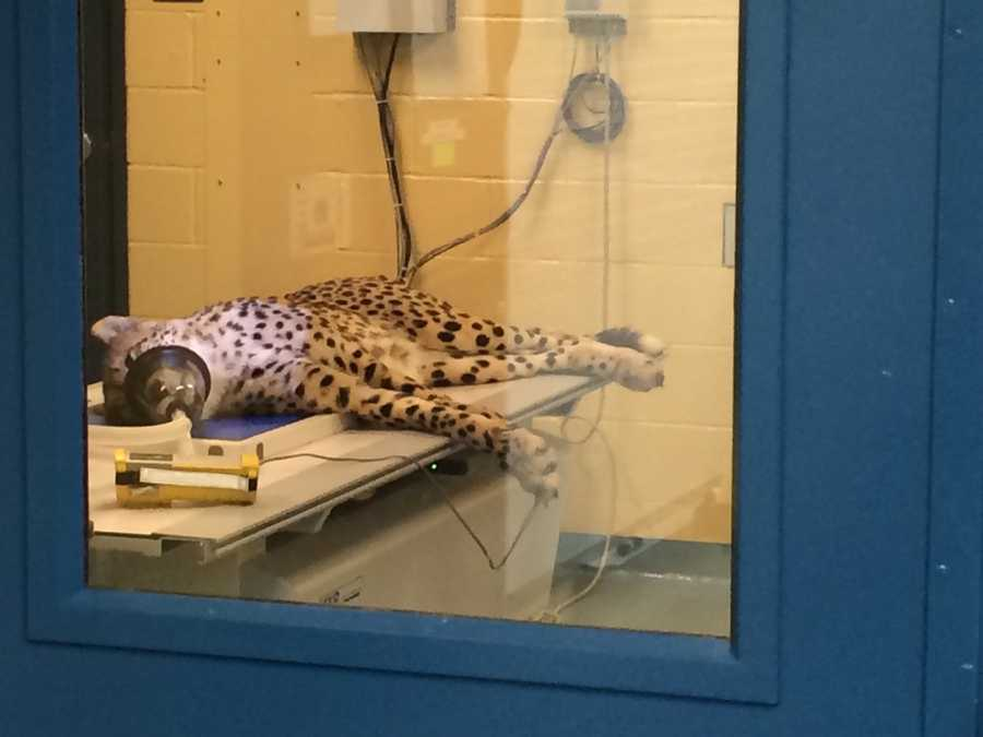 A young male cheetah, 1 1/2 years old, gets radiographs while in a 30-day quarantine.