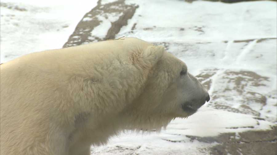 """Actually, the bears love this type of weather. Up in the arctic and around Alaska, it can get 80 (degrees) below zero. So, I think this morning I saw minus 11 on my car thermostat, so, yeah, they love it and they'll actually get in the water as well,"" said Dwayne Biggs, curator of aquatic life."