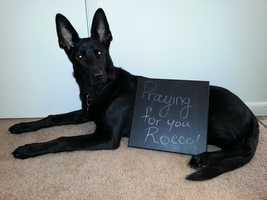 """""""This a Onyx he is a 7 month old German Shepherd from Morgantown, WV and we are sending our prayers to Rocco and everyone involved in this horrible accident. Emily Thomas and Onyx""""A WTAE viewer shared this photo on u local. Send your pictures to ulocal@wtae.com."""