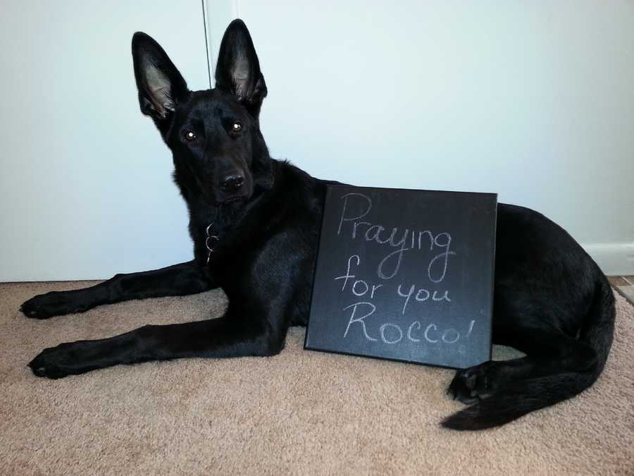 """This a Onyx he is a 7 month old German Shepherd from Morgantown, WV and we are sending our prayers to Rocco and everyone involved in this horrible accident. Emily Thomas and Onyx""A WTAE viewer shared this photo on u local. Send your pictures to ulocal@wtae.com."