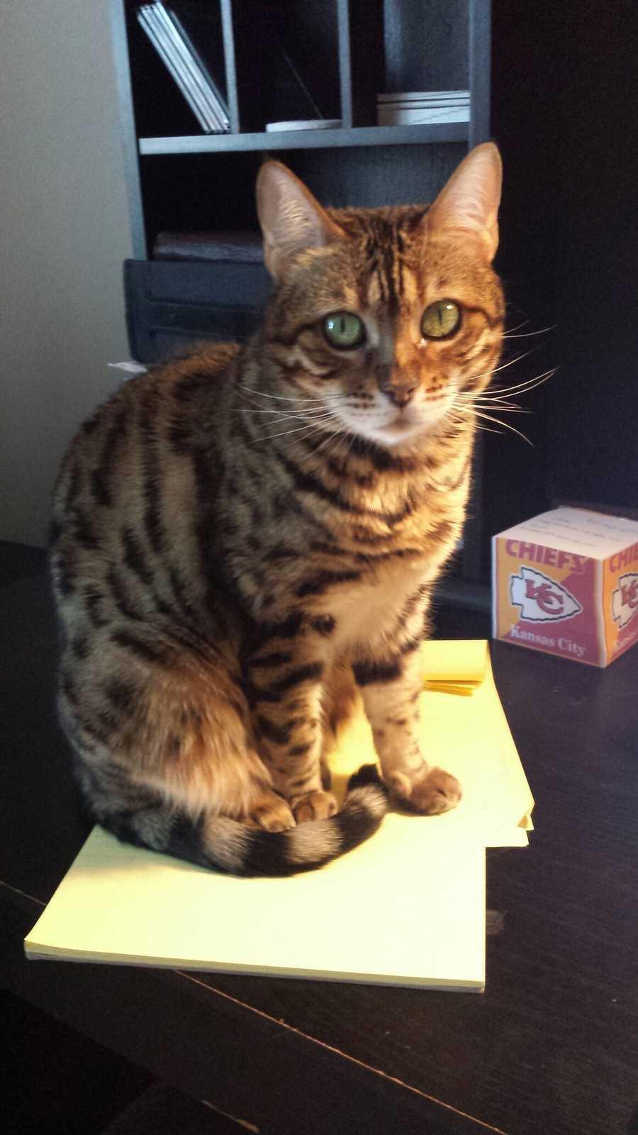 Reporter Sheldon Ingram's cat Condu.