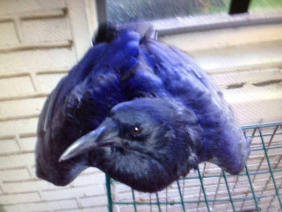 Photographer John McKee's crow Edgar.